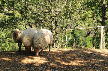 Three sheep huddle together surrounded by forest in the French countryside